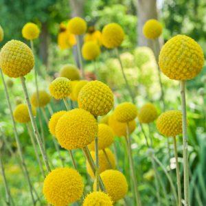 Dobverő virág – Craspedia globlosa – 20 szem