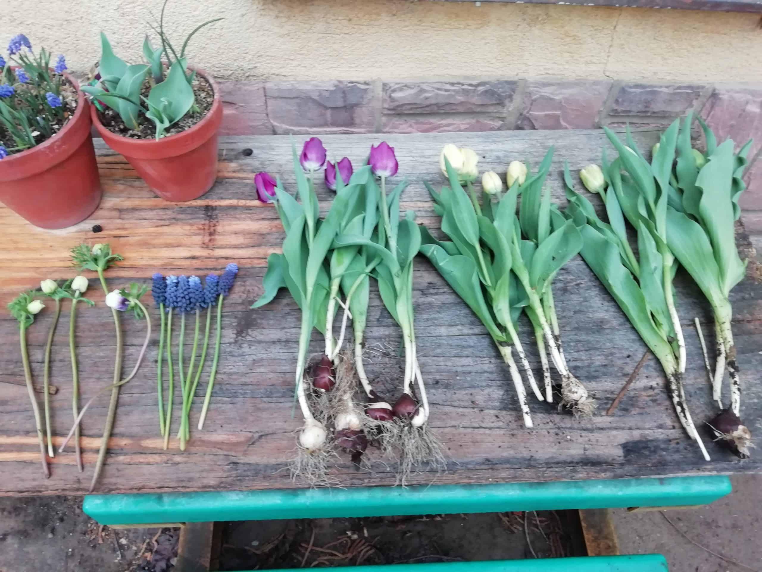 Hogyan szüretelj tulipánt, nárciszt és gyöngyikét?