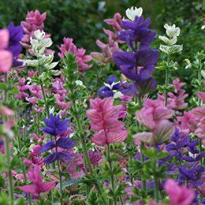 Egynyári zsálya – Salvia viridis – Mix – 20 szem