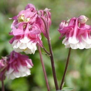 Harangláb – duplavirágú – Pink petticoat – 20 szem