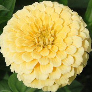 Rézvirág – Zinnia – Isabellina- óriás virágú krémsárga – 20 szem