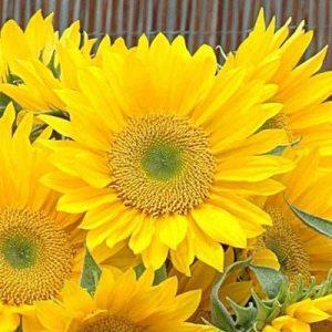 Dísznapraforgó – Sunrich Gold – F1 hibrid – 10 szem