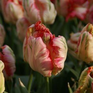 Tulipán – papagáj – Apricot Parrot – 9 db