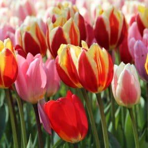 Tulipán – Darwin hibrid – Mix – 9 db
