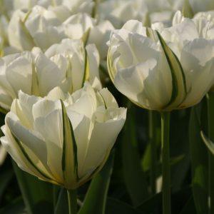 Tulipán – korai dupla – White valley / Exotic emperor – 9 db