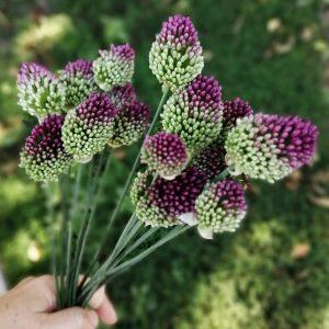 Díszhagyma – Allium sphaerocephalon – Bunkós hagyma – 10 db
