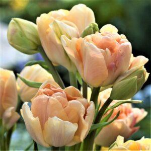 Tulipán – késői dupla csokros – Charming beauty – 9 db