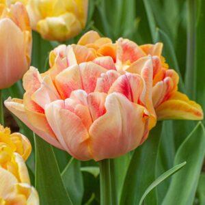 Tulipán – késői dupla – Charming lady – 9 db