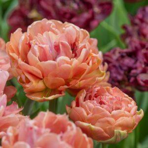 Tulipán – késői dupla – Copper image – 9 db
