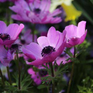 Koronás szellőrózsa – Anemone coronia – Sylphide – 10 db