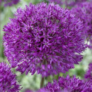 Díszhagyma – Allium – Purple Sensation – 5 db