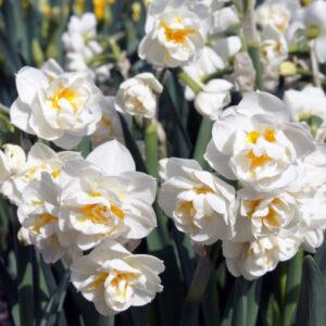 Nárcisz – csokros duplavirágú – Bridal crown – 5 db