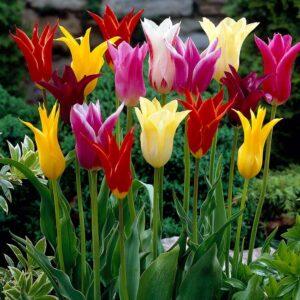 Tulipán – liliom virágú – Mix – 9 db