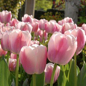 Tulipán – Darwin hibrid – Ollioules – 9 db
