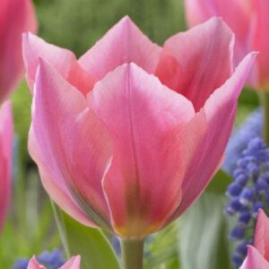Tulipán – Fosteriana – Albert Heijn – 9 db