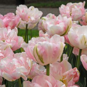 Tulipán – késői dupla – Finola – 9 db