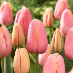 Tulipán – késői szimpla – Menton – 9 db