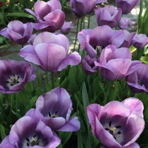 Tulipán – késői szimpla – Violet beauty – 9 db