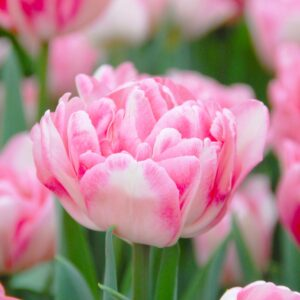 Tulipán – korai dupla – Foxtrot – 9 db