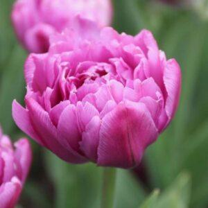 Tulipán – korai dupla – Margarita – 9 db