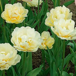 Tulipán – korai dupla – Verona – 9 db