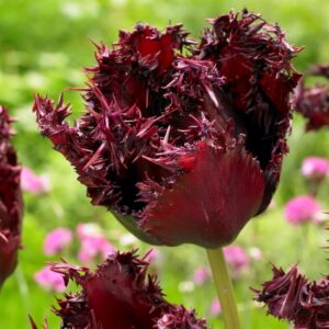 Tulipán – rojtos szélű – Labrador – 9 db