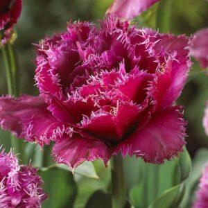 Tulipán – rojtos szélű dupla – Mascotte – 9 db