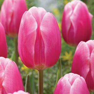 Tulipán – triumph – Milkshake – 9 db