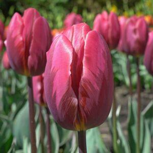 Tulipán – triumph – Pretty princess – 9 db