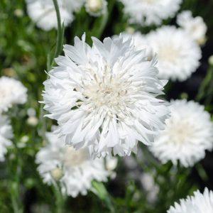 Búzavirág – hófehér – 50 szem