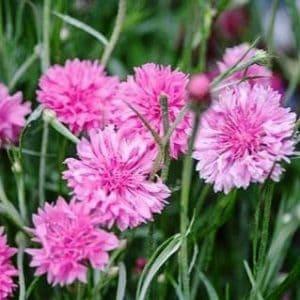 Búzavirág – rózsaszín – 50 szem