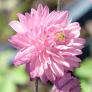Harangláb – duplavirágú – Rose Barlow – 20 szem