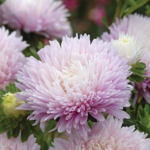 Őszirózsa – óriás virágú halvány rózsaszín – 50 szem