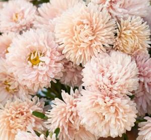 Őszirózsa – óriás virágú barack színű – 50 szem