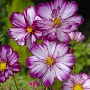 Pillangóvirág – Fizzy Rose Picotee – 20 szem
