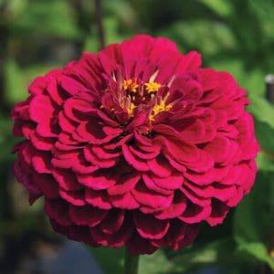 Rézvirág – Zinnia – óriás virágú burgundi színű – 20 szem