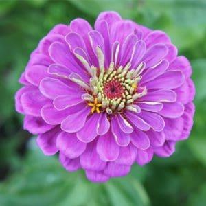 Rézvirág – Zinnia – óriás virágú halvány lila színű – 20 szem