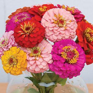 Rézvirág – Zinnia – kis virágú Oklahoma mix – 20 szem