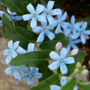 Tweedia – világoskék teleltetős évelő virág – 20 szem