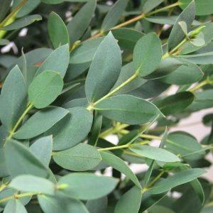Eucalyptus parvifolia – kislombú eukaliptusz – 20 szem