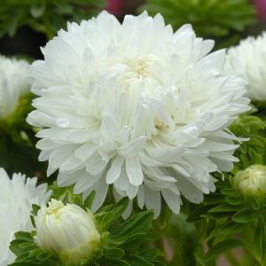 Őszirózsa – óriás virágú hófehér – 50 szem