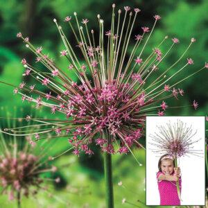 """Díszhagyma – Allium Schubertii – """"karácsonyfadísz"""" – 1 db"""