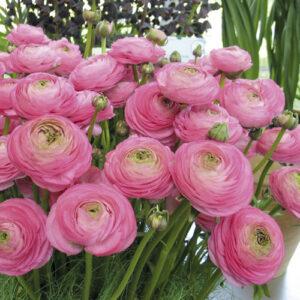 Ázsiai boglárka – Ranunculus asiaticus – Aviv rose – 10 db