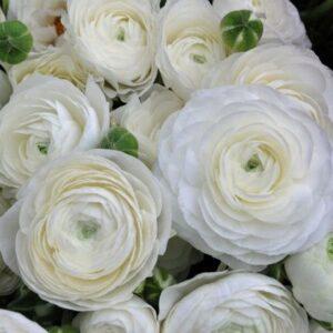 Ázsiai boglárka – Ranunculus asiaticus – Aviv white – 10 db