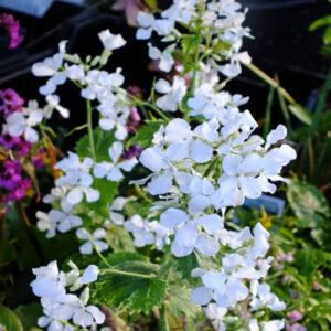 Kerti holdviola – Lunaria annua – fehér virágú – 20 szem