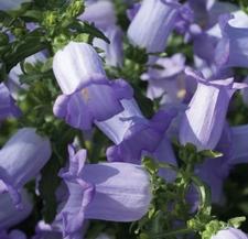 Csupros harangvirág – kétnyári – Champion Lavender F1 – 20 szem drazsírozott mag