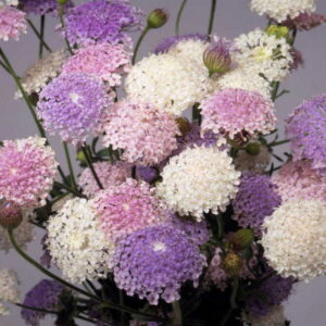 Didiscus – egynyári – Csipke virág mix – 20 szem