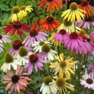 Kasvirág – Echinacea purpurea – Paradiso magas növésű mix – 20 szem
