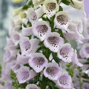 Gyűszűvirág – Camelot lavender – F1 hibrid – 20 szem drazsírozott mag