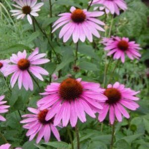 Kasvirág – Echinacea purpurea – Primadonna deep rose – 20 szem